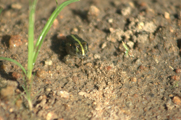 Tiny Bullfrog: We found hundreds of these tiny bullfrogs by a lake