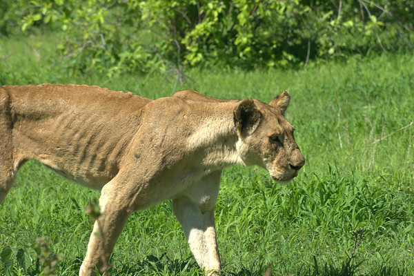 Old Lady on the Prowl: This old lioness limped from a leg injury as she moved to start hunting; the injury must've prevented her from hunting