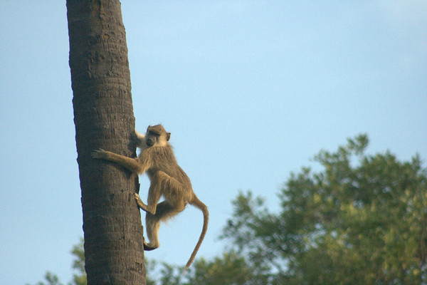 Up the Tree!: Palms are a favorite of baboons because there's only one way up