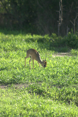 That's Really it's Name: This adult dikdik grazes
