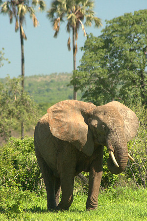Big Mama: This mama elephant was flapping her ears to scare us off her baby