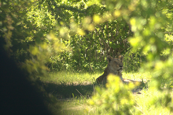 Hiding in the Shade: This old lioness was hiding in the shade until she was ready to hunt