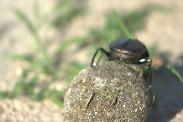 Working on Poo: This scarab beetle rolls a ball of dung to lay eggs in